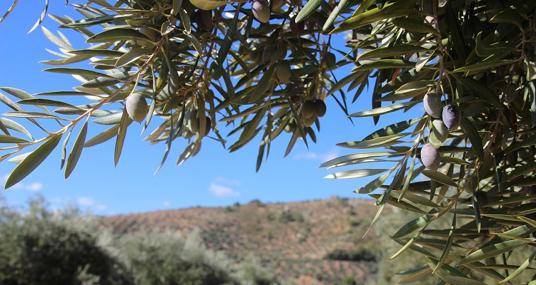 Seresco takes part in the CIP-OLIVE project with Spanish and Egyptian companies